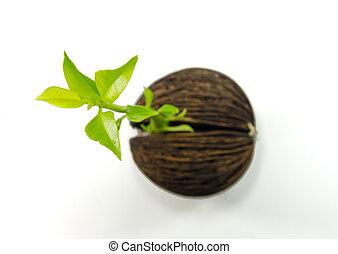 Cerbera odollam or Suicide tree fruit seed. - Cerbera...