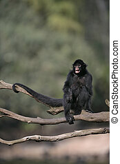 Black-faced spider monkey, Ateles chamek, single mammal in...