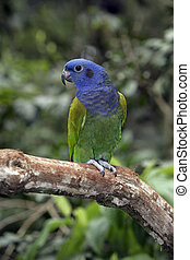 Blue-headed parrot, Pionus menstruus, single bird on branch,...