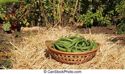 green beans basket - green beans being put into a wicker...