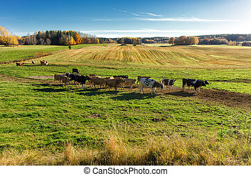 Cows grazing during autumn - Cows grazing in the Swedish...