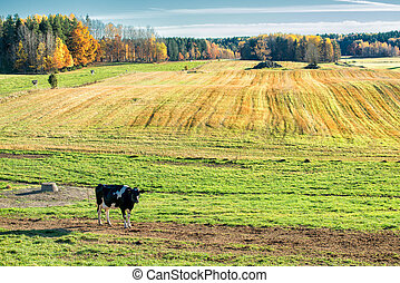 Curious cow in the Swedish countryside of Ostergotland...