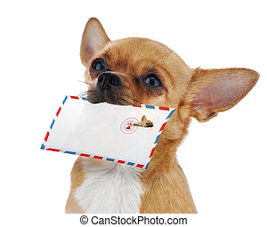Red chihuahua dog with post envelope isolated on white...