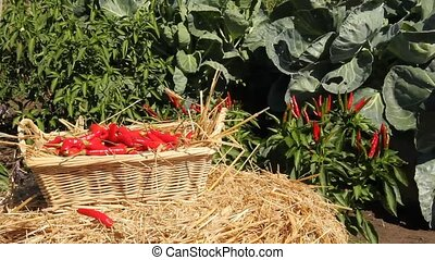red hot chili peppers - hot chili peppers put into a wicker...