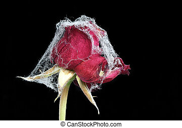 Withered rose with spider web - Withered rose covered with...