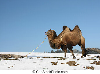 A Bactrian Camel (Camelus bactrianus) is chewing a dry...
