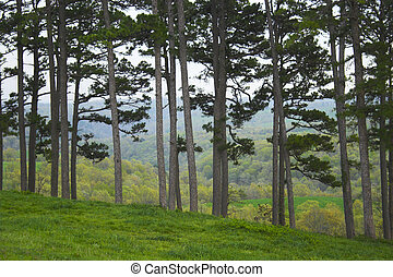 Wall of pines - Raw of pines growing on the hill