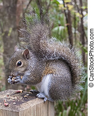 Gray Squirrel Eating a Peanut - Gray squirrel, Sciurus...