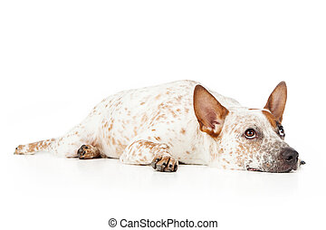 Australian Cattle Dog Laying and looking up - Australian...