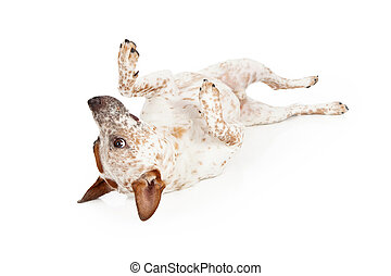Australian Cattle Dog Laying on Back - A playful Australian...