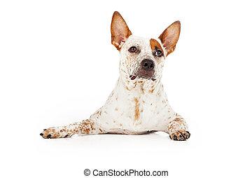 Alert Australian Cattle Dog Laying - An Australian Cattle...