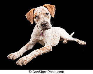 Australian Cattle Dog Cross Breed - A young Australian...