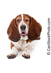 Basset Hound Dog Winking - A Basset Hound dog laying down...