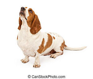 Basset hound looking up - Basset hound dog isolated on white
