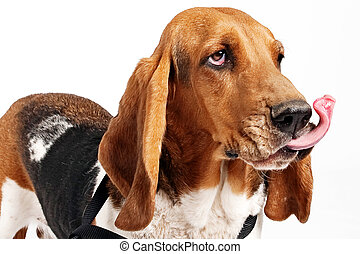 Basset Hound With Tongue Flying