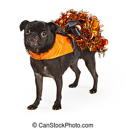Black Pug Dog wearing orange Halloween dress - A young black...