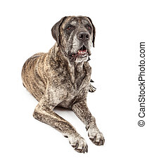 Brindle Mastiff Dog Drooling - A large brindle Mastiff dog...