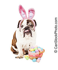 English Bulldog Wearing Bunny Ears and Basket - English...