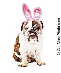 English Bulldog Wearing Bunny Ears - English Bulldog sitting...
