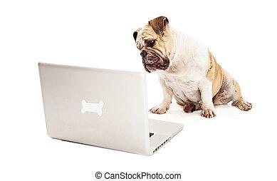 Bulldog on Computer - A Bulldog sitting against a white...