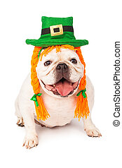 Bulldog Wearing Irish Hat and Hair Braids - Bulldog against...