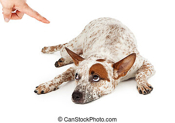Cattle Dog Being Punished - An Australian Cattle Dog mixed...