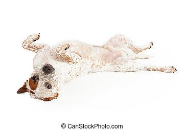Queensland Heeler Dog Laying on Back - A Queensland Heeler...