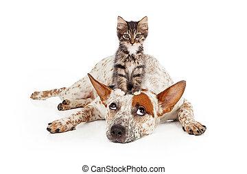 Catte, perro, con, gatito, el suyo, cabeza