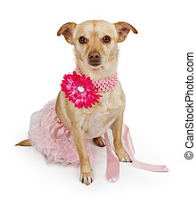Chihuahua mix dog wearing a pink tutu and flower collar - A...