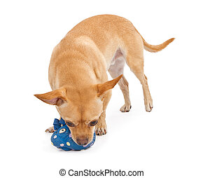 Chihuahua and Pug Mix Dog Playing With Toy - A small mixed...