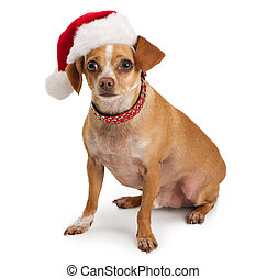 Chihuahua wearing santa hat - A Chihuahua dog wearing a red...