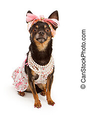 Chihuahua dog dressed in pink with pretty bow