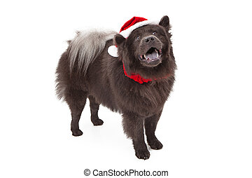 Chow Dog Wearing Santa Hat - Black Chow dog wearing a red...