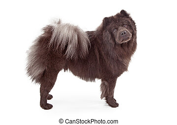Chow-Chow Dog Isolated on White - A black Chow-Chow dog...