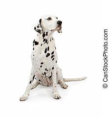 Dalmatian Dog Sitting Pretty - Dalmatian breed dog sitting...