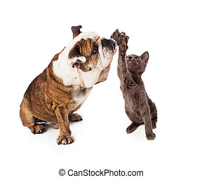 Bulldog and Kitten High Five - A large Bulldog and a little...