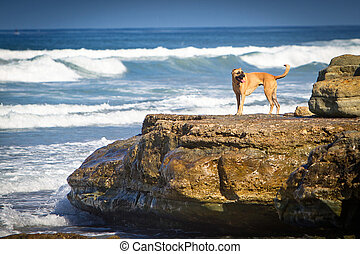 Dog on a rock on the beach - A large mixed breed dog...