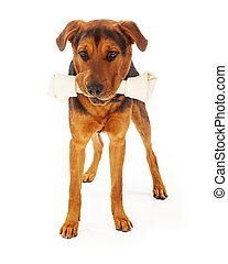 Dog With Big Bone - A large mixed breed dog with a big...