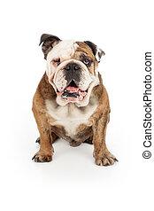 English Bulldog Happy Face