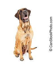 English Mastiff Dog Sitting - A large apricot color female...