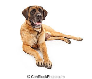 Engish Mastiff Dog - A beautiful female four year old...
