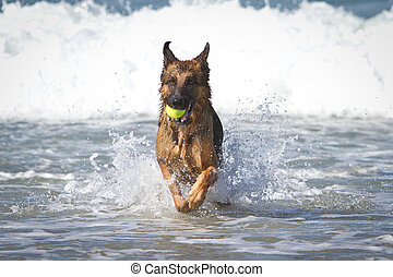German Shepherd Dog i Ocean - German Shepherd Dog running in...