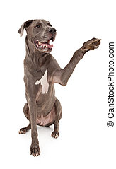 Great Dane Dog Extending Paw - Great Dane dog extending his...