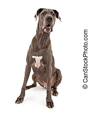 Great Dane Dog - A large Great Dane dog sitting down with...