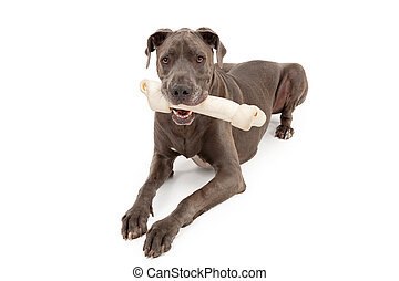 Great Dane Dog With Large Bone - Great Dane dog with a very...
