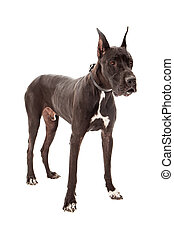 Great Dane Dog Standing - Great Dane dog standing against a...