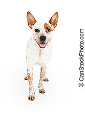 Happy Australian Cattle Dog Standing - Australian Cattle Dog...
