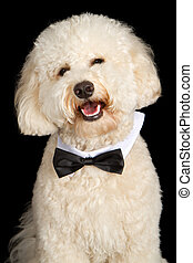 Labradoodle Dog Wearing Bow Tie - Cream color Labradoodle...