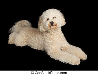 Labradoodle Dog Laying Down on Black
