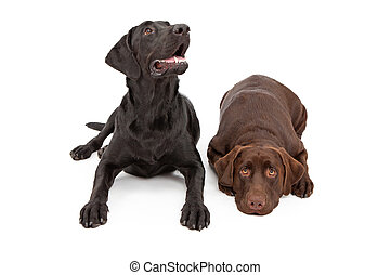 Two Labrador Retriever Dogs Laying Down